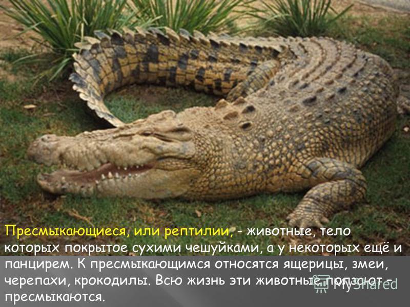 Пресмыкающиеся, или рептилии, - животные, тело которых покрытое сухими чешуйками, а у некоторых ещё и панцирем. К пресмыкающимся относятся ящерицы, змеи, черепахи, крокодилы. Всю жизнь эти животные ползают – пресмыкаются.