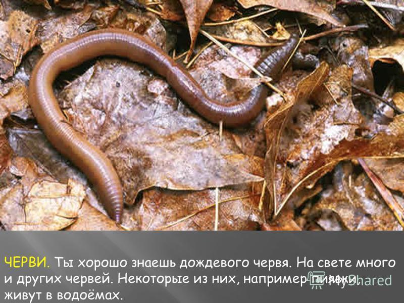 ЧЕРВИ. Ты хорошо знаешь дождевого червя. На свете много и других червей. Некоторые из них, например пиявки, живут в водоёмах.