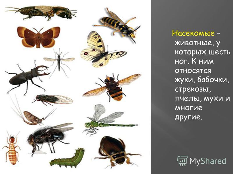 Насекомые – животные, у которых шесть ног. К ним относятся жуки, бабочки, стрекозы, пчелы, мухи и многие другие.