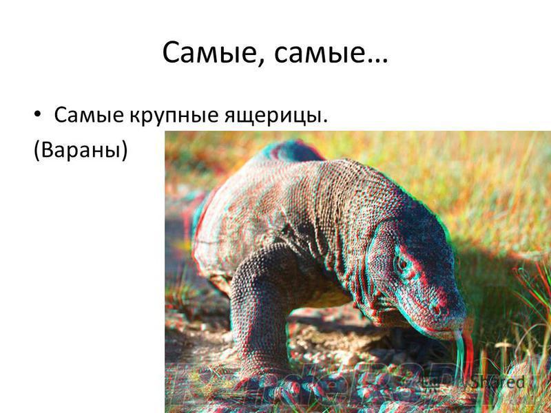 Самые, самые… Самые крупные ящерицы. (Вараны)
