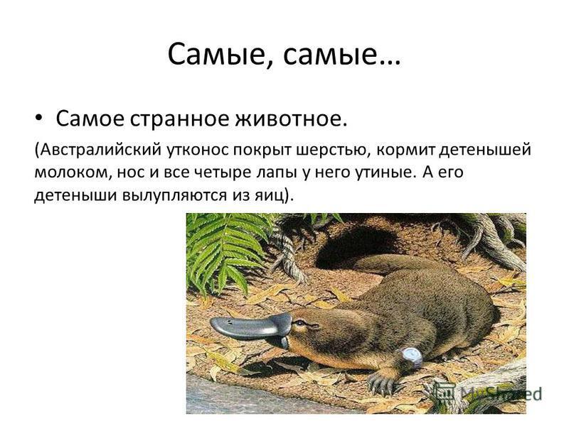 Самые, самые… Самое странное животное. (Австралийский утконос покрыт шерстью, кормит детенышей молоком, нос и все четыре лапы у него утиные. А его детеныши вылупляются из яиц).