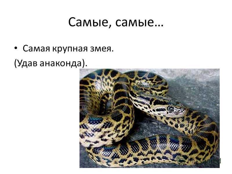 Самые, самые… Самая крупная змея. (Удав анаконда).