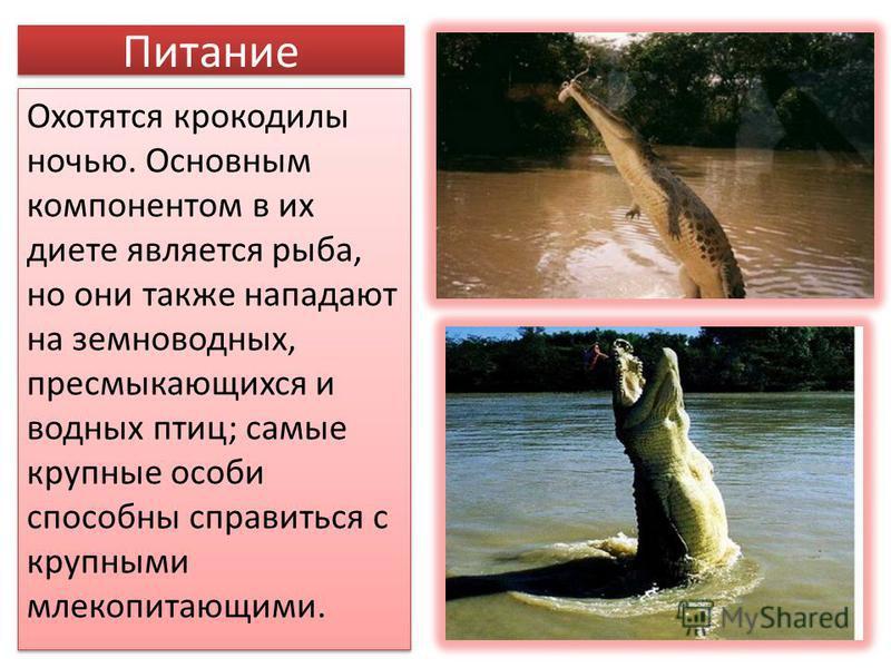 Питание Охотятся крокодилы ночью. Основным компонентом в их диете является рыба, но они также нападают на земноводных, пресмыкающихся и водных птиц; самые крупные особи способны справиться с крупными млекопитающими.