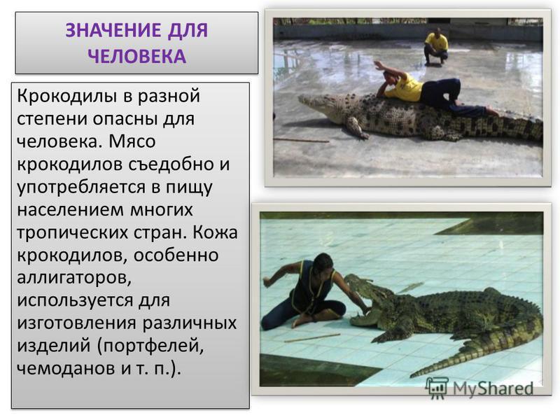 ЗНАЧЕНИЕ ДЛЯ ЧЕЛОВЕКА Крокодилы в разной степени опасны для человека. Мясо крокодилов съедобно и употребляется в пищу населением многих тропических стран. Кожа крокодилов, особенно аллигаторов, используется для изготовления различных изделий (портфел