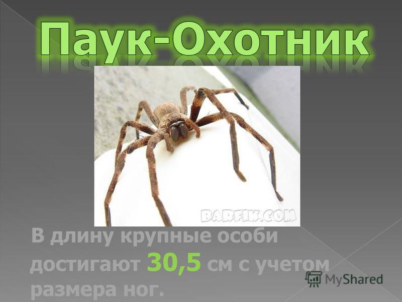 В длину крупные особи достигают 30,5 см с учетом размера ног.