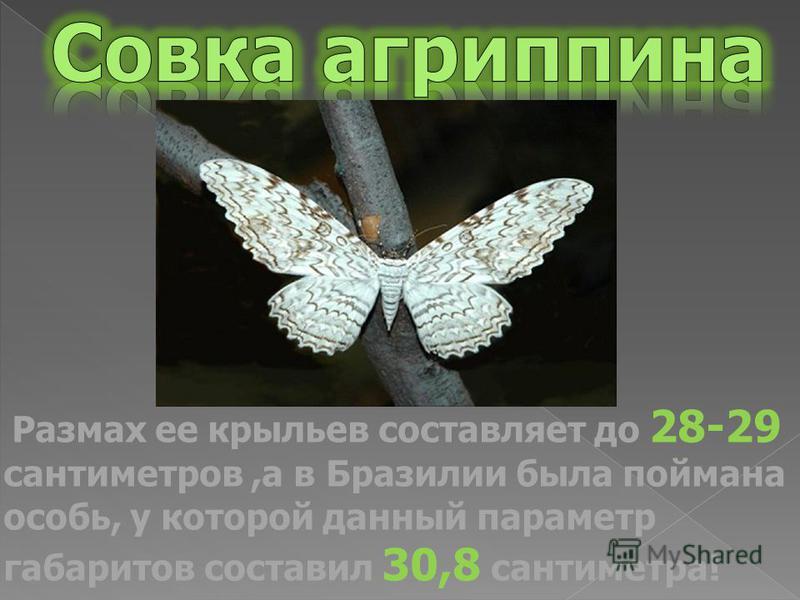 Размах ее крыльев составляет до 28-29 сантиметров,а в Бразилии была поймана особь, у которой данный параметр габаритов составил 30,8 сантиметра!