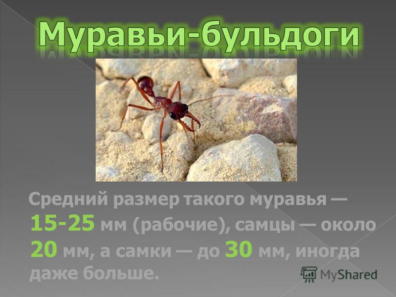 Средний размер такого муравья 15-25 мм (рабочие), самцы около 20 мм, а самки до 30 мм, иногда даже больше.