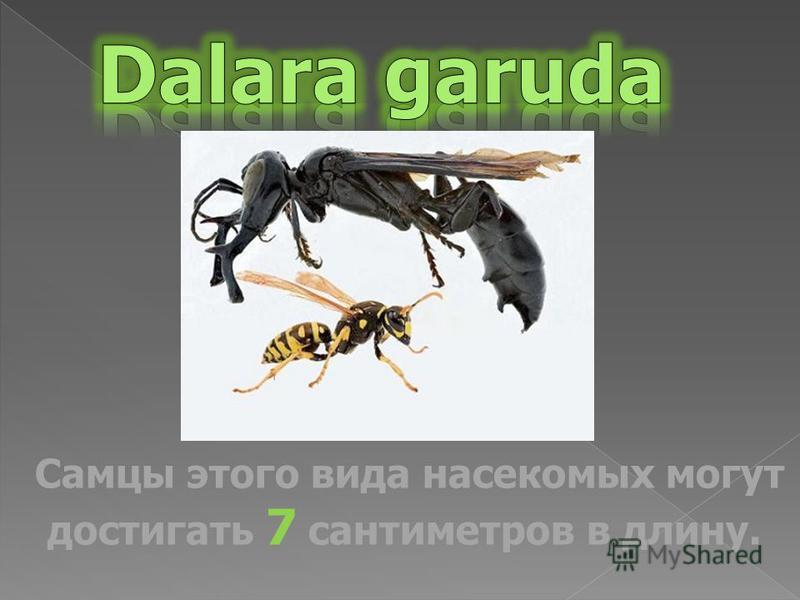 Самцы этого вида насекомых могут достигать 7 сантиметров в длину.