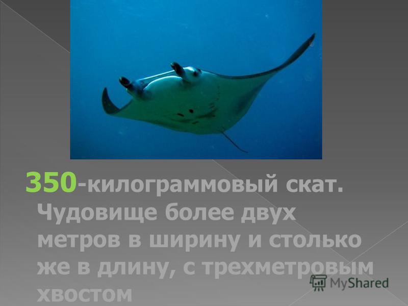 350 -килограммовый скат. Чудовище более двух метров в ширину и столько же в длину, с трехметровым хвостом