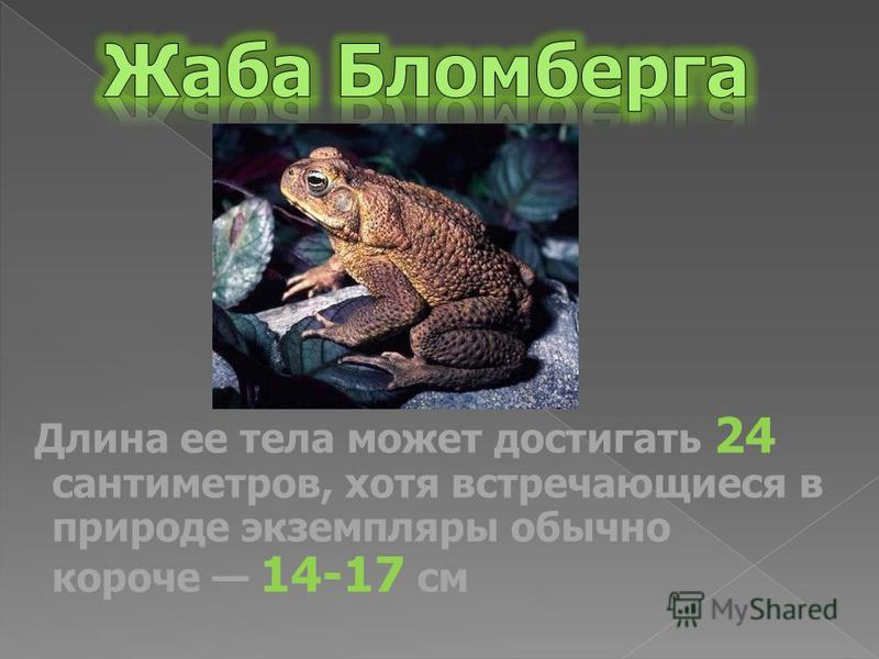 Длина ее тела может достигать 24 сантиметров, хотя встречающиеся в природе экземпляры обычно короче 14-17 см