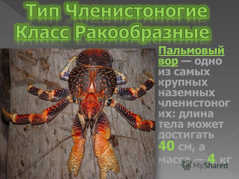 Пальмовый вор одно из самых крупных наземных членистоногих: длина тела может достигать 40 см, а масса 4 кг