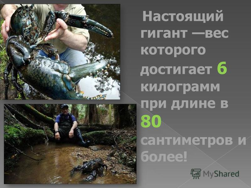 Настоящий гигант вес которого достигает 6 килограмм при длине в 80 сантиметров и более!