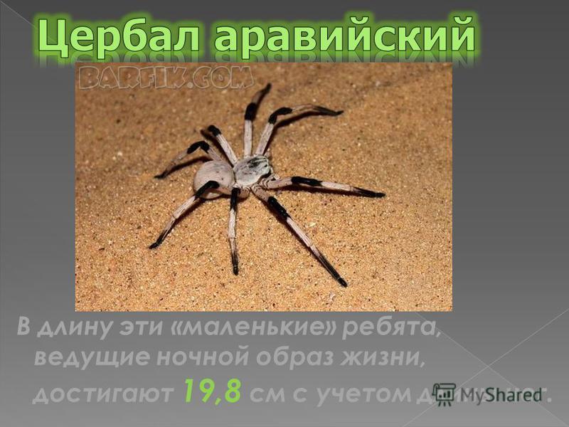В длину эти «маленькие» ребята, ведущие ночной образ жизни, достигают 19,8 см с учетом длины ног.