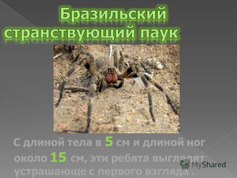С длиной тела в 5 см и длиной ног около 15 см, эти ребята выглядят устрашающе с первого взгляда.