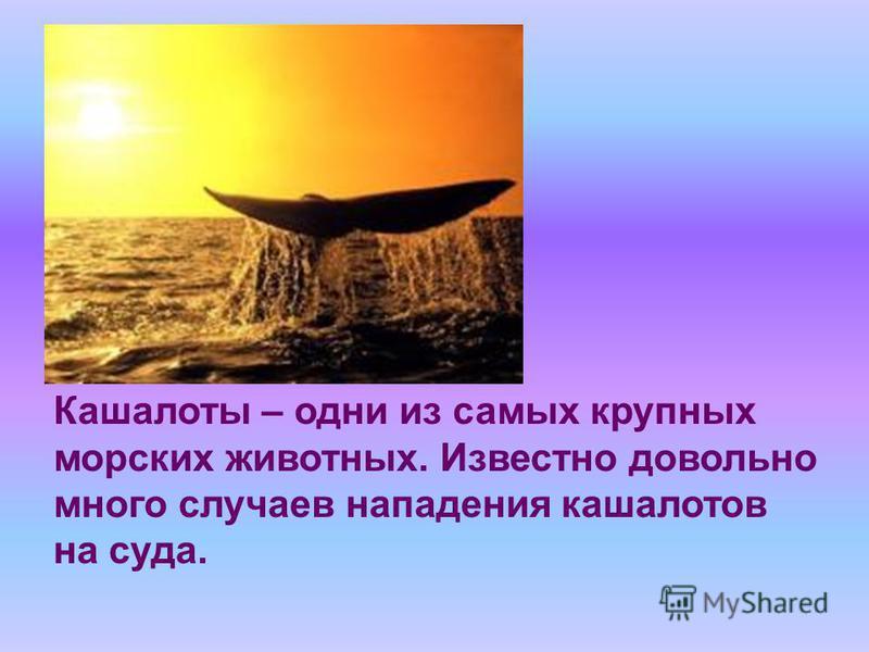 Кашалоты – одни из самых крупных морских животных. Известно довольно много случаев нападения кашалотов на суда.