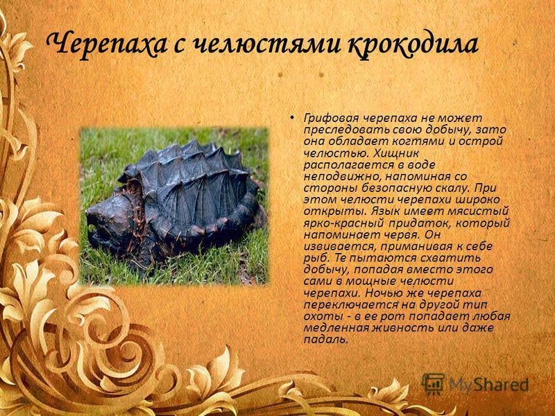 Черепаха с челюстями крокодила Грифовая черепаха не может преследовать свою добычу, зато она обладает когтями и острой челюстью. Хищник располагается в воде неподвижно, напоминая со стороны безопасную скалу. При этом челюсти черепахи широко открыты.