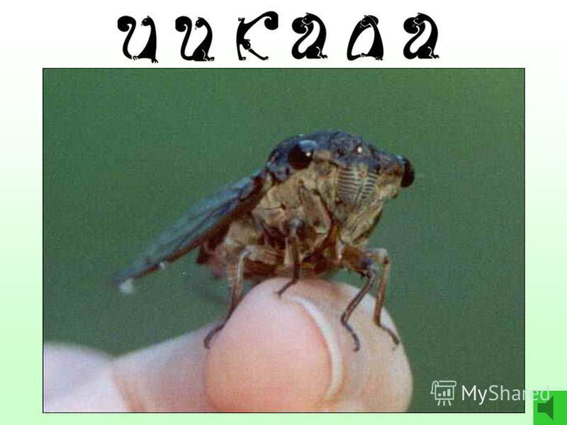 4 5 9 4 Реши цепочку и ответь: - Какое насекомое самое громкое на свете? цикада – 4