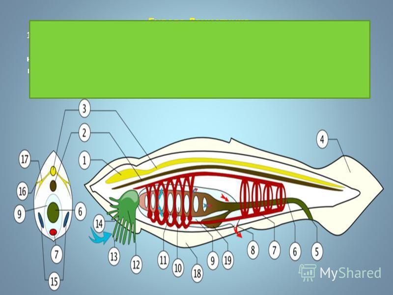 Будова Ланцетника 1-нервова система, 2-хорда, 3-нервова трубка, 4-хвостовий плавець, 5-анальний отвір, 6-кишечник, 7-спинні судини, 8-отвір навколозябрової щілини,9- навколозяброва щілина, 10-зяброві щілини. 11-глотка, 12-передротова лійка, 13 щупаль