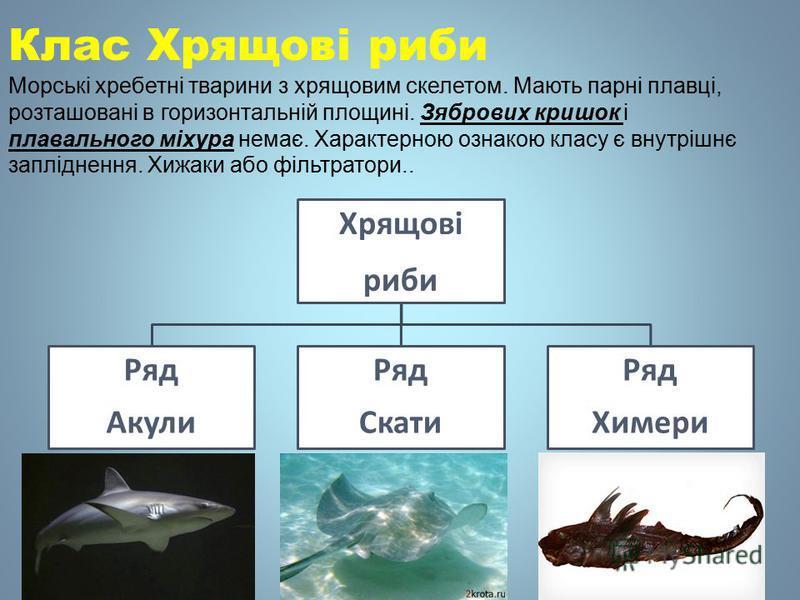 Хрящові рыби Ряд Акули Ряд Скати Ряд Химери Клас Хрящові рыби Морські хребетні тварини з хрящовим скелетом. Мають парні плавці, розташовані в горизонтальній площині. Зябрових кришок і плавильного міхура немає. Характерною ознакою класу є внутрішнє за