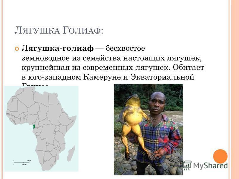 Л ЯГУШКА Г ОЛИАФ : Лягушка-голиаф бесхвостое земноводное из семейства настоящих лягушек, крупнейшая из современных лягушек. Обитает в юго-западном Камеруне и Экваториальной Гвинее.
