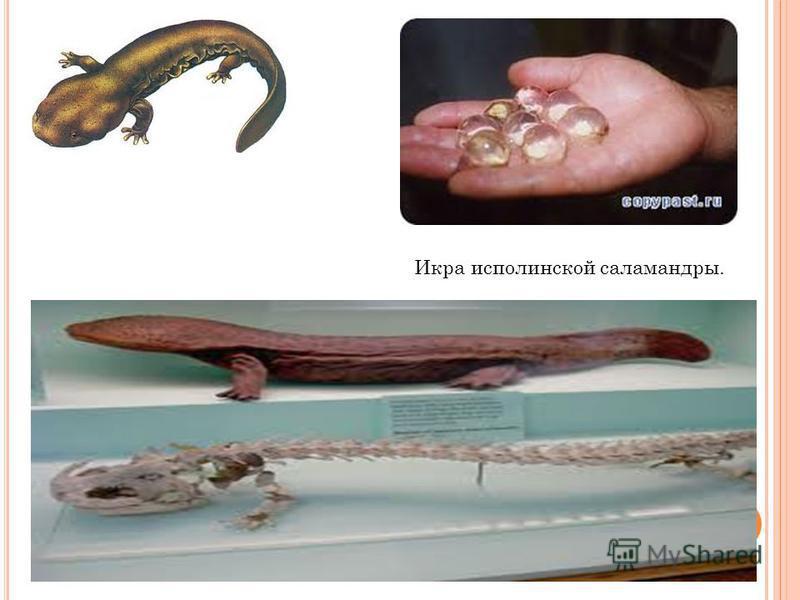 Икра исполинской саламандры.