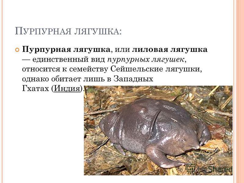 П УРПУРНАЯ ЛЯГУШКА : Пурпурная лягушка, или лиловая лягушка единственный вид пурпурных лягушек, относится к семейству Сейшельские лягушки, однако обитает лишь в Западных Гхатах (Индия).
