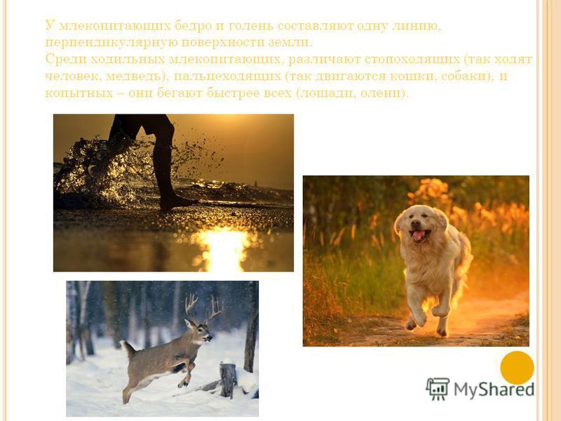 У млекопитающих бедро и голень составляют одну линию, перпендикулярную поверхности земли. Среди ходильных млекопитающих, различают стопоходящих (так ходят человек, медведь), пальцеходящих (так двигаются кошки, собаки), и копытных – они бегают быстрее