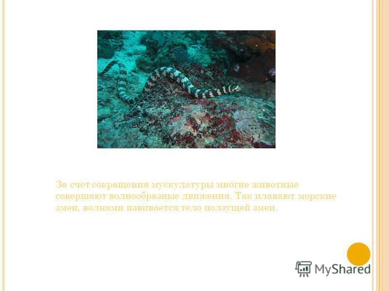 За счет сокращения мускулатуры многие животные совершают волнообразные движения. Так плавают морские змеи, волнами извивается тело ползущей змеи.