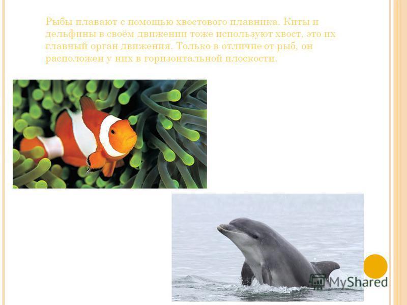 Рыбы плавают с помощью хвостового плавника. Киты и дельфины в своём движении тоже используют хвост, это их главный орган движения. Только в отличие от рыб, он расположен у них в горизонтальной плоскости.