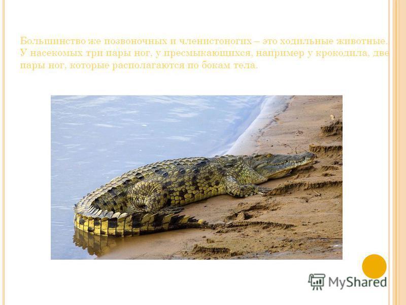 Большинство же позвоночных и членистоногих – это ходильные животные. У насекомых три пары ног, у пресмыкающихся, например у крокодила, две пары ног, которые располагаются по бокам тела.