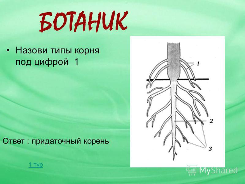 БОТАНИК Назови типы корня под цифрой 1 Ответ : придаточный корень 1 тур
