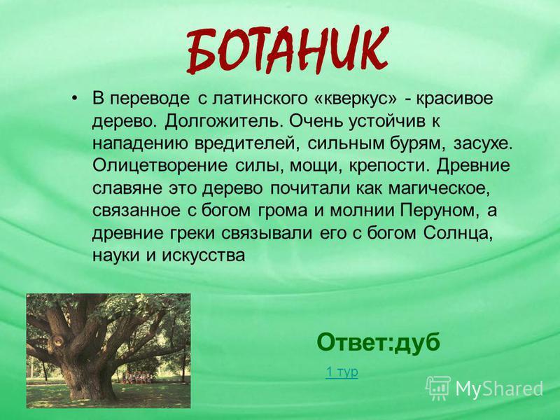 БОТАНИК В переводе с латинского «кверкус» - красивое дерево. Долгожитель. Очень устойчив к нападению вредителей, сильным бурям, засухе. Олицетворение силы, мощи, крепости. Древние славяне это дерево почитали как магическое, связанное с богом грома и