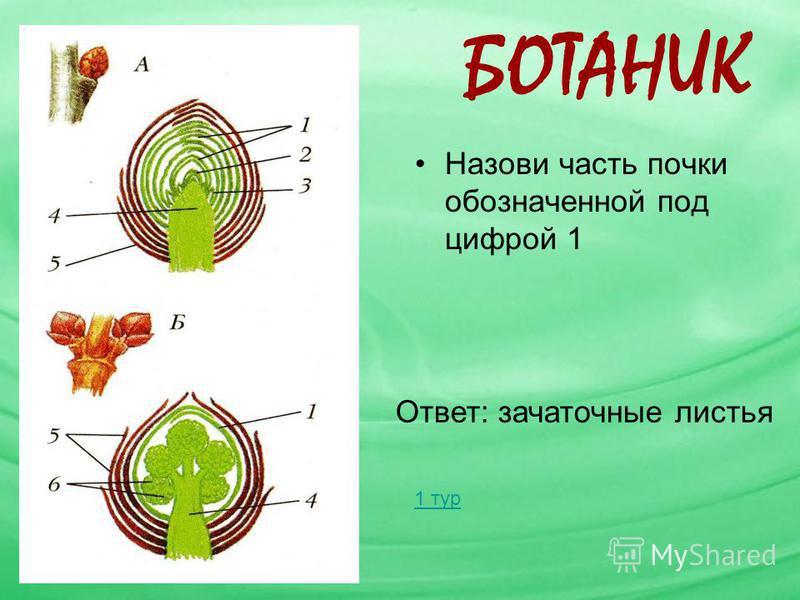 БОТАНИК Назови часть почки обозначенной под цифрой 1 Ответ: зачаточные листья 1 тур