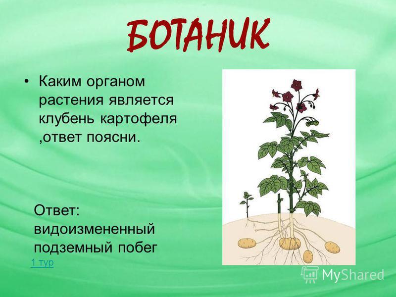 БОТАНИК Каким органом растения является клубень картофеля,ответ поясни. Ответ: видоизмененный подземный побег 1 тур