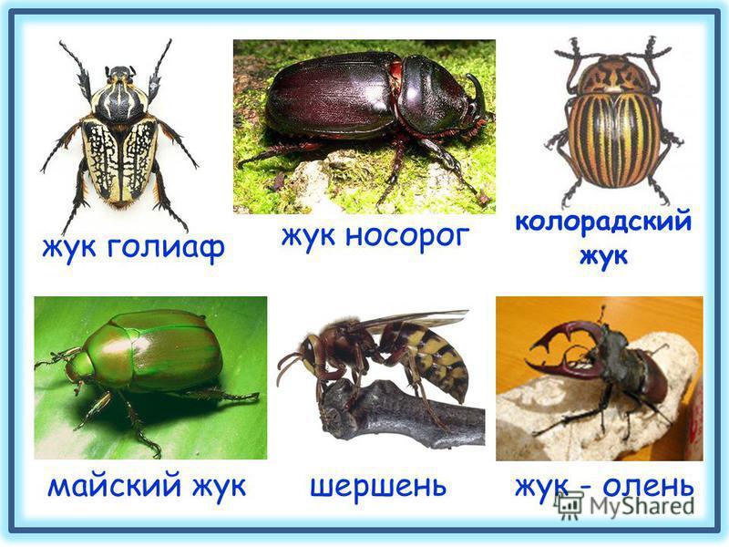 жук - олень майский жук шершень жук голиаф колорадский жук жук носорог