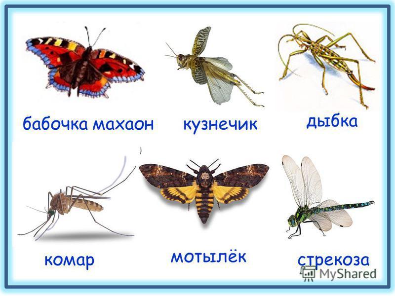 бабочка махаон кузнечик стрекоза мотылёк комар дыбка