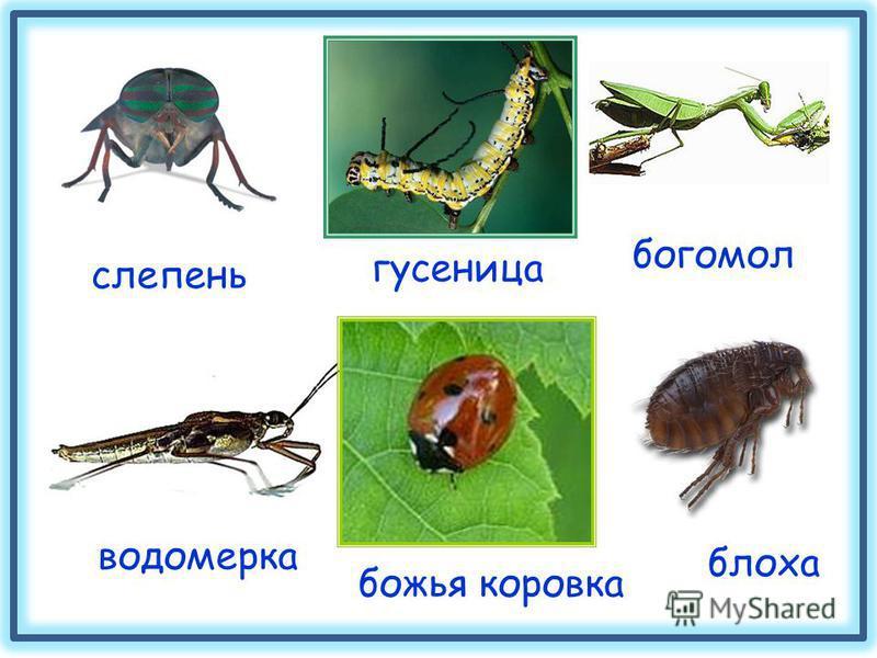 слепень богомол водомерка блоха божья коровка гусеница