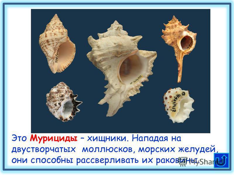 Это Мурициды – хищники. Нападая на двустворчатых моллюсков, морских желудей, они способны рассверливать их раковины.