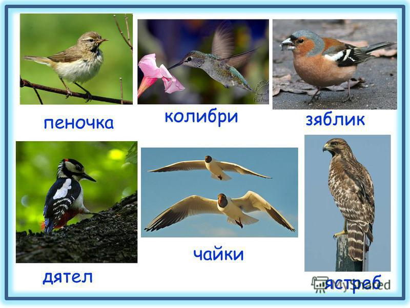 пеночка дятел зяблик ястреб чайки колибри