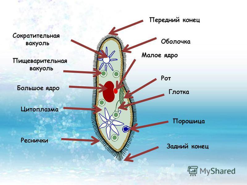 Задний конец Сократительная вакуоль Малое ядро Рот Глотка Пищеварительная вакуоль Большое ядро Цитоплазма Реснички Порошица Передний конец Оболочка