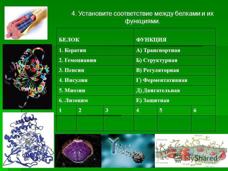 4. Установите соответствие между белками и их функциями. БЕЛОКФУНКЦИЯ 1. КератинА) Транспортная 2. ГемоцианинБ) Структурная 3. ПепсинВ) Регуляторная 4. ИнсулинГ) Ферментативная 5. МиозинД) Двигательная 6. ЛизоцимЕ) Защитная 123456
