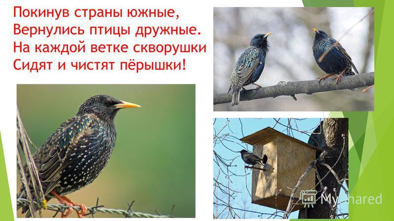 Покинув страны южные, Вернулись птицы дружные. На каждой ветке скворушки Сидят и чистят пёрышки!