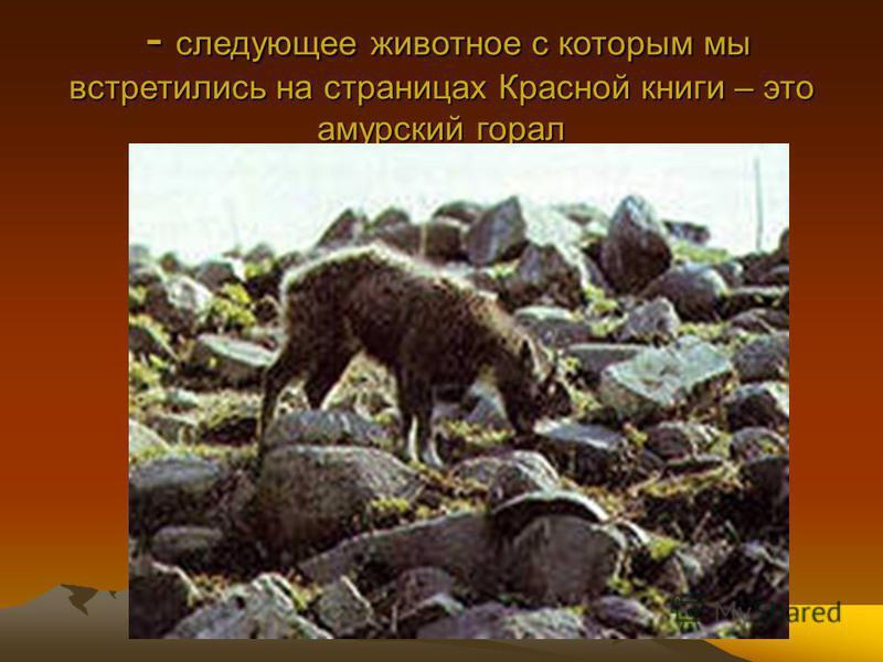 - следующее животное с которым мы встретились на страницах Красной книги – это амурский горал - следующее животное с которым мы встретились на страницах Красной книги – это амурский горал