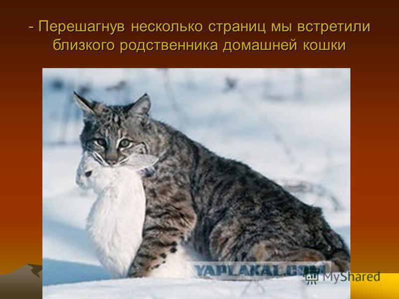 - Перешагнув несколько страниц мы встретили близкого родственника домашней кошки