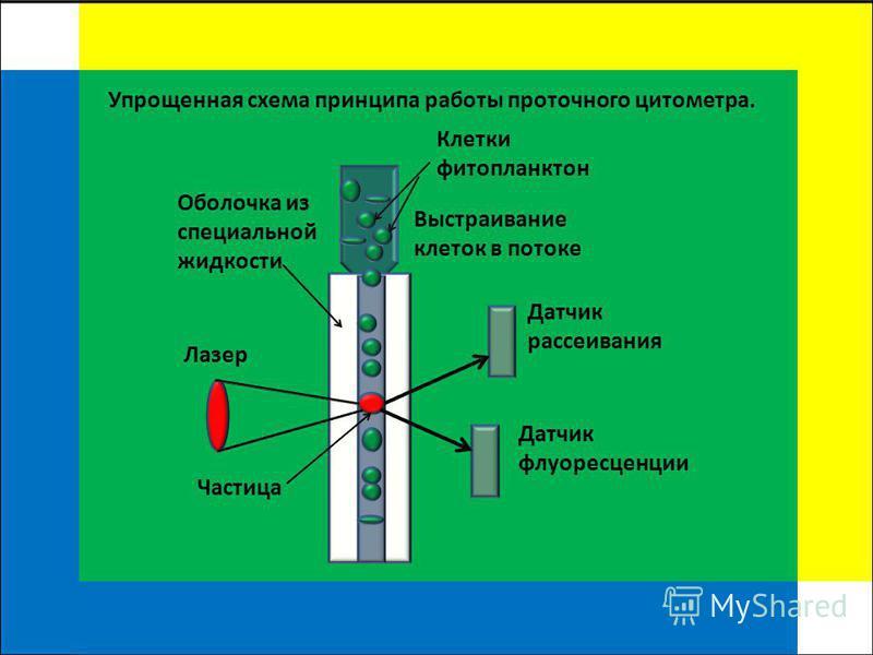 Клетки фитопланктон Датчик рассеивания Датчик флуоресценции Выстраивание клеток в потоке Лазер Оболочка из специальной жидкости Упрощенная схема принципа работы проточного цитометра. Частица