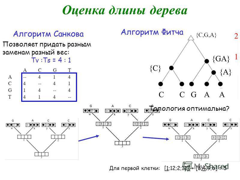 Оценка длины дерева 3 1 1 Алгоритм Санкова Позволяет придать разным заменам разный вес: Tv :Ts = 4 : 1 Для первой клетки: [1;12;2;12] + [8;4;9;6] = 5 Топология оптимальна? 2 1 ССGAAA {С}{С} {GA} {A} Алгоритм Фитча