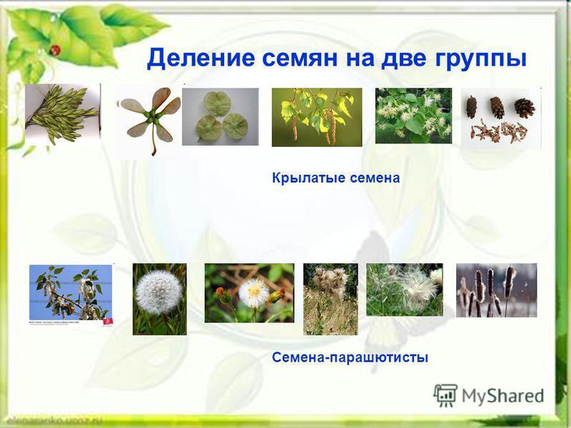 Деление семян на две группы Крылатые семена Семена-парашютисты