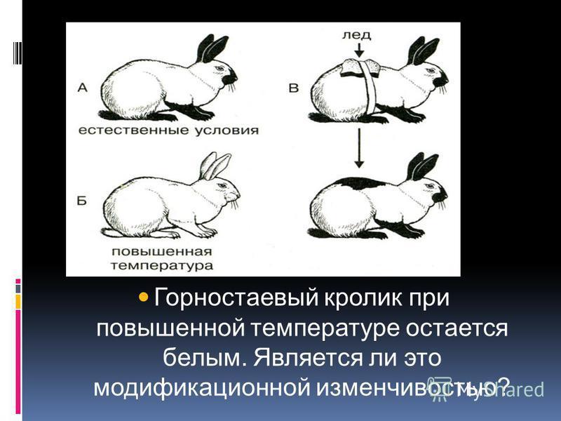 Горностаевый кролик при повышенной температуре остается белым. Является ли это модификационной изменчивостью?