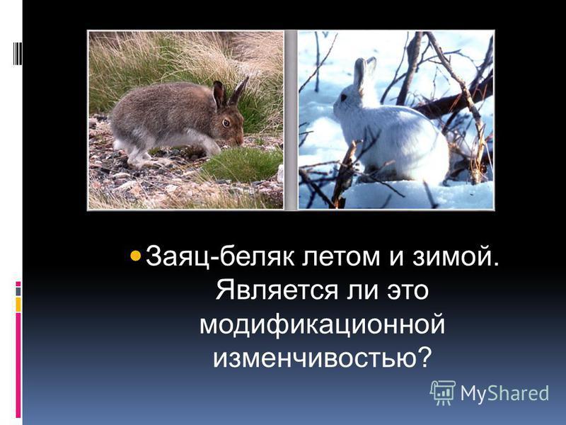 Заяц-беляк летом и зимой. Является ли это модификационной изменчивостью?