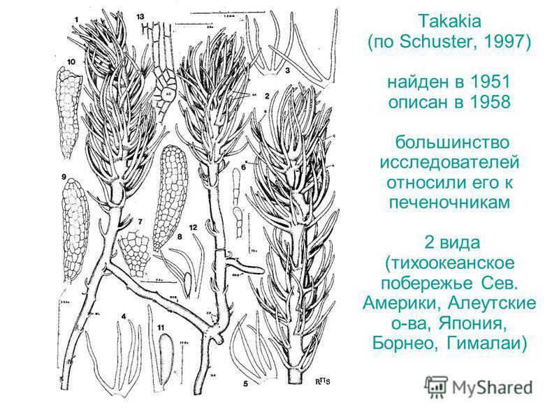 Takakia (по Schuster, 1997) найден в 1951 описан в 1958 большинство исследователей относили его к печеночникам 2 вида (тихоокеанское побережье Сев. Америки, Алеутские о-ва, Япония, Борнео, Гималаи)